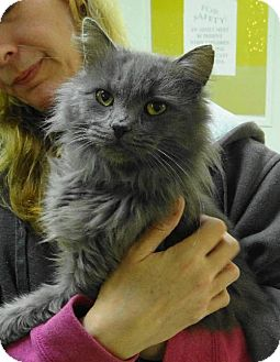 Domestic Shorthair Cat for adoption in Marble, North Carolina - Smokey