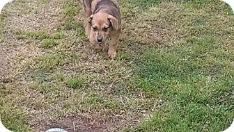 Catahoula Leopard Dog/Affenpinscher Mix Puppy for adoption in Miami, Oklahoma - Teddy
