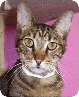 Domestic Shorthair Cat for adoption in Las Vegas, Nevada - Tiger