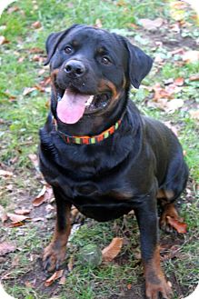 Rottweiler Dog for adoption in Rexford, New York - Oso