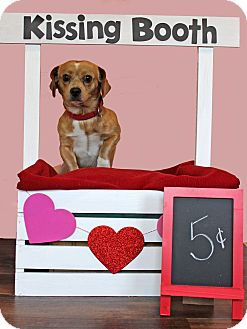 Pug/Beagle Mix Dog for adoption in Waldorf, Maryland - Peanut
