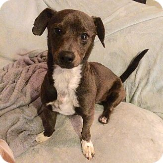Terrier (Unknown Type, Small)/Dachshund Mix Dog for adoption in San Diego, California - Salty