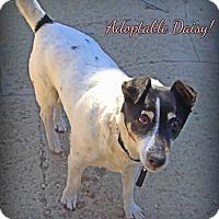 Adopt A Pet :: Daisy - Loveland, CO