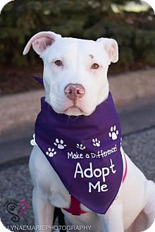 American Staffordshire Terrier Mix Dog for adoption in Grand Rapids, Michigan - Freckles