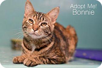 Domestic Shorthair Cat for adoption in West Des Moines, Iowa - Bonnie