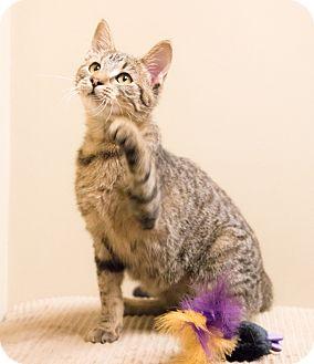 Domestic Shorthair Cat for adoption in Chicago, Illinois - Radish