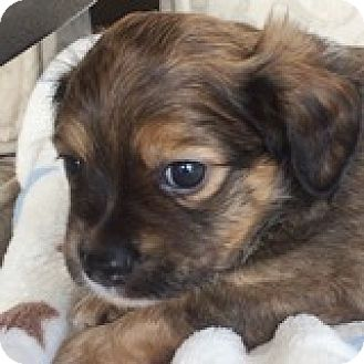 Dachshund Mix Puppy for adoption in Houston, Texas - Devon Dabinett