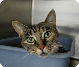 Domestic Shorthair Cat for adoption in Elyria, Ohio - Baby Girl