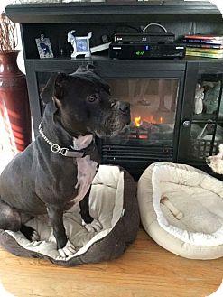 American Bulldog Mix Dog for adoption in Valley Stream, New York - Anthony