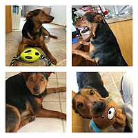 Shepherd (Unknown Type)/Black and Tan Coonhound Mix Dog for adoption in Midway, Arkansas - Ziggy