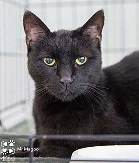 Domestic Shorthair Cat for adoption in Merrifield, Virginia - Mr. Magoo