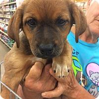 Adopt A Pet :: Peachie - Hohenwald, TN