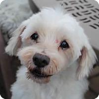 Adopt A Pet :: Boo - Avon, NY