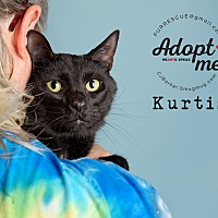 Domestic Shorthair Cat for adoption in Pearland, Texas - Kurtis