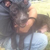 Adopt A Pet :: Ruler - Jackson, MI