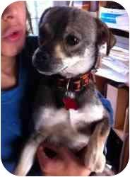 Chihuahua/Chihuahua Mix Dog for adoption in Encino, California - Ezekiel
