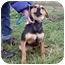 Photo 2 - Shepherd (Unknown Type)/Hound (Unknown Type) Mix Puppy for adoption in Osseo, Minnesota - Katie