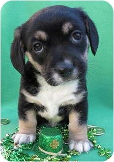 Lhasa Apso/Dachshund Mix Puppy for adoption in Irvine, California - Shamrock