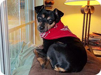 Miniature Pinscher Dog for adoption in Nashville, Tennessee - Xena