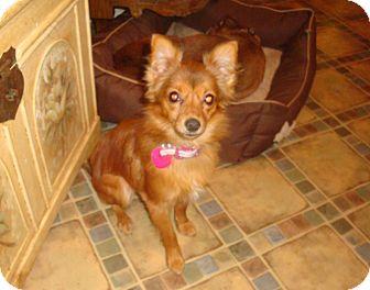 Pomeranian Mix Dog for adoption in North Wilkesboro, North Carolina - Lizzy