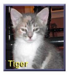 Domestic Shorthair Kitten for adoption in Aldie, Virginia - Tiger