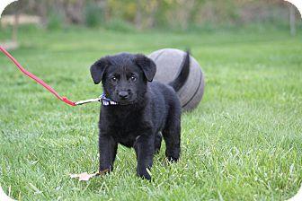 Labrador Retriever/German Shepherd Dog Mix Puppy for adoption in West Milford, New Jersey - DUGAN