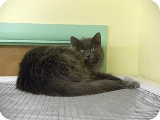 Domestic Longhair Cat for adoption in Fort Benton, Montana - Kittie