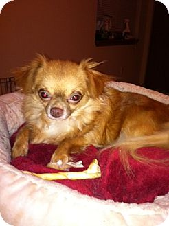 Chihuahua Dog for adoption in Everett, Washington - Frappucino (Frappy)
