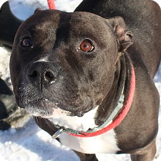 American Pit Bull Terrier Mix Dog for adoption in Lyons, New York - Shadow