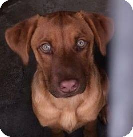Chesapeake Bay Retriever/Labrador Retriever Mix Puppy for adoption in Torrance, California - CINNAMON