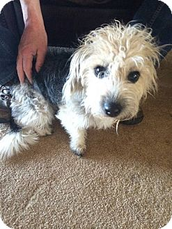 Yorkie, Yorkshire Terrier/Poodle (Toy or Tea Cup) Mix Dog for adoption in Ashville, Ohio - Casey