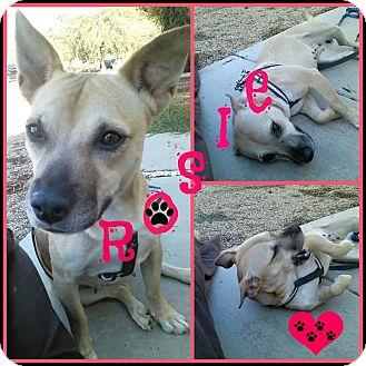 Dachshund/Hound (Unknown Type) Mix Dog for adoption in Phoenix, Arizona - Rosie