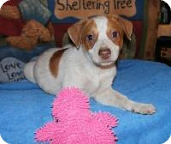 Hound (Unknown Type)/Terrier (Unknown Type, Medium) Mix Puppy for adoption in Olympia, Washington - Checkers