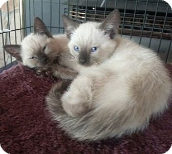 Siamese Kitten for adoption in San Andreas, California - Charlie and Jewel