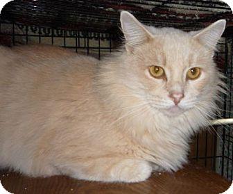Norwegian Forest Cat Cat for adoption in Dallas, Texas - Morris