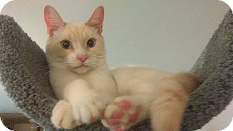 Domestic Shorthair Cat for adoption in Little Neck, New York - DITEE