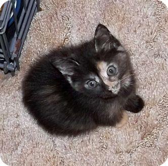 Domestic Shorthair Kitten for adoption in Salem, Oregon - Noel