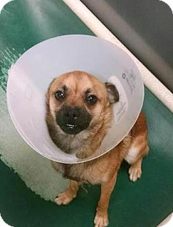 Chihuahua Mix Dog for adoption in Columbus, Georgia - Rascal 1567