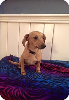 Dachshund/Miniature Pinscher Mix Puppy for adoption in Marcellus, Michigan - Willow