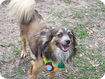 Papillon/Sheltie, Shetland Sheepdog Mix Dog for adoption in Green Cove Springs, Florida - Walter
