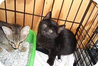 Domestic Longhair Kitten for adoption in Breinigsville, Pennsylvania - Dante