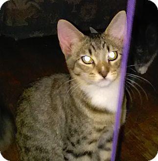 Domestic Shorthair Cat for adoption in Parkton, North Carolina - TJ