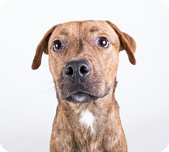 Rhodesian Ridgeback/American Bulldog Mix Dog for adoption in Clearwater, Florida - Wrangler