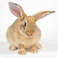Californian for adoption in Kingston, Ontario - Zoe