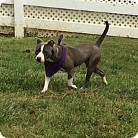Adopt A Pet :: Lexi - Greenville, SC