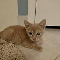 Adopt A Pet :: Tiny Tim - Santa Fe, TX