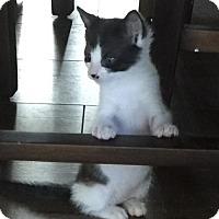 Domestic Shorthair Kitten for adoption in Los Angeles, California - Stash