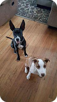 Labrador Retriever Mix Dog for adoption in Westminster, Colorado - Penny