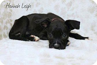 Boxer/Labrador Retriever Mix Puppy for adoption in Kenner, Louisiana - Hannah Leigh