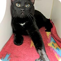 Domestic Shorthair/Domestic Shorthair Mix Cat for adoption in Lowell, Massachusetts - Titus